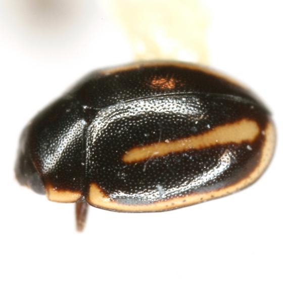 Hyperaspis quadrivittata LeConte - Hyperaspis quadrivittata