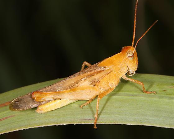 orange Acrididae - Chortophaga viridifasciata - male