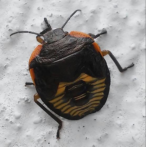 Black and Orange Bug with Yellow Pattern - Chinavia hilaris
