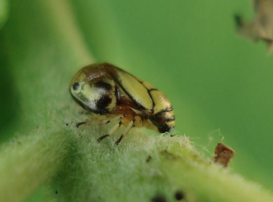 Treehopper - Clastoptera proteus