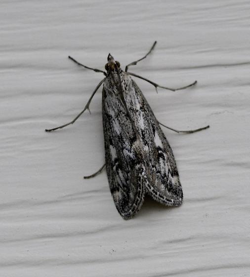 Last bug of the trip - Loxostege indentalis