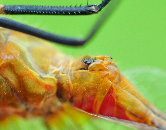 Cherry-faced Meadowhawk - Sympetrum internum - male
