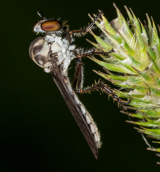 Holcocephala calva