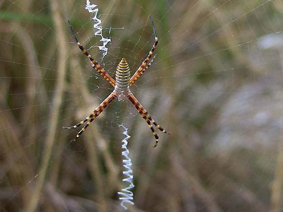 Banded Arigope Spider - Argiope trifasciata