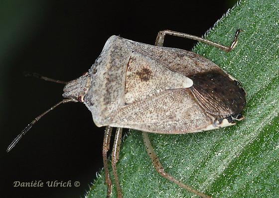 Pentatomomorpha - Euschistus servus