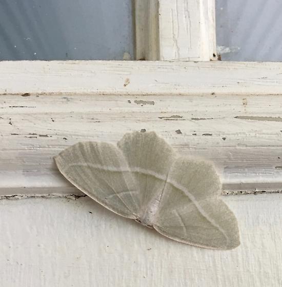 Whitish moth with white stripe - Campaea perlata