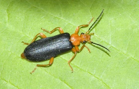 Black and orange beetle - Neopyrochroa flabellata - male