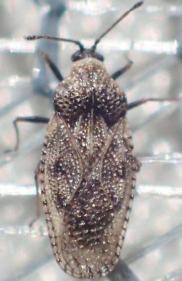 lacebug - Dictyla labeculata