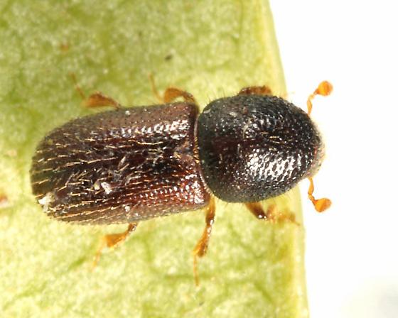 Scolytin - Heteroborips seriatus