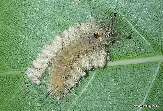 Tussock with Parasites - Lymire edwardsii