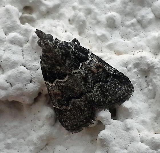Moth - Satole ligniperdalis - female