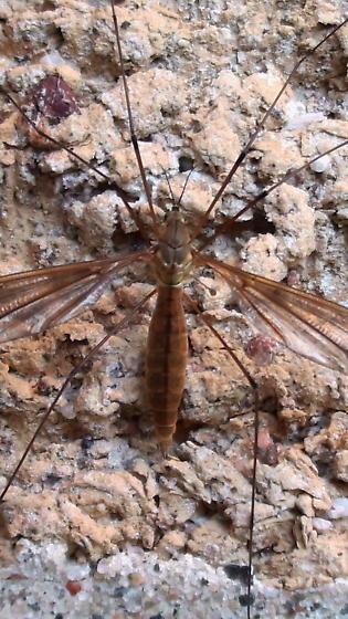Tipulidae: Tipula fuliginosa? - Angarotipula illustris