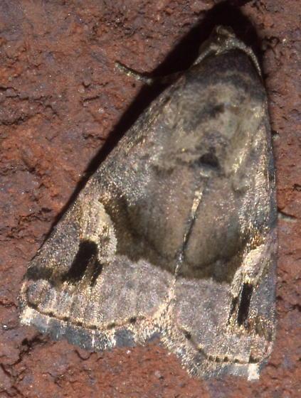 Brown moth with two black marks - Ozarba nebula