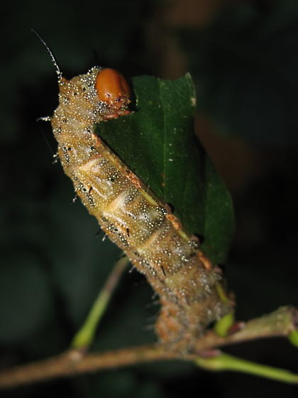 caterpillar - Anisota stigma