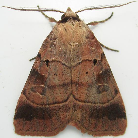 Pale-banded Dart - Hodges#10955 - Agnorisma badinodis - male