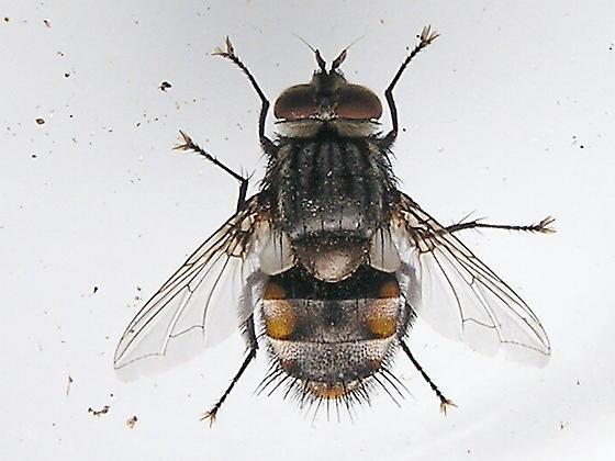 Tachnid Fly I believe