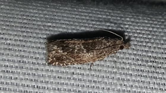 Pelochrista derelicta