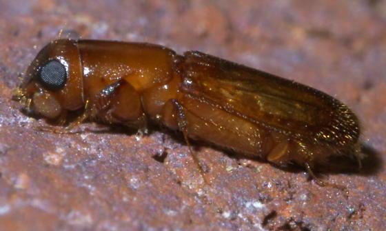 Pinhole bark borer - Euplatypus