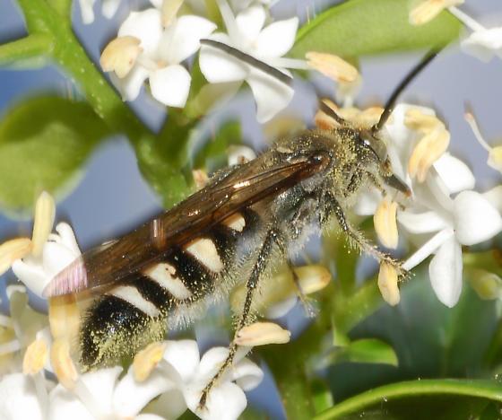 I love that pollen! - Dielis plumipes - male