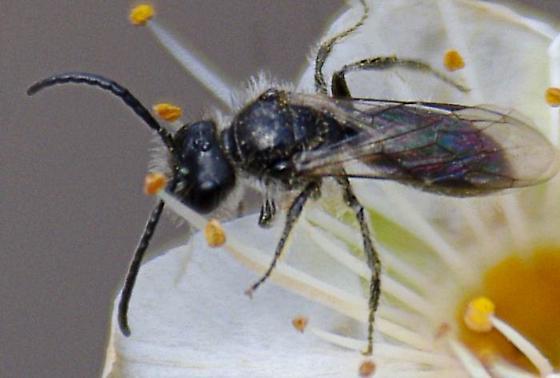 little bee - Panurginus - male
