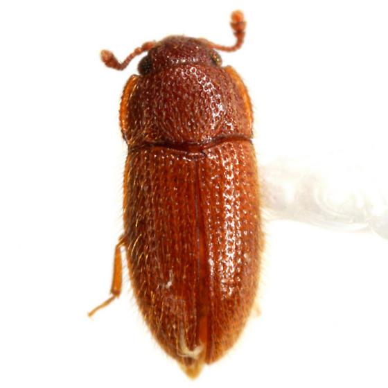 Diplocoelus rudis (LeConte) - Diplocoelus rudis