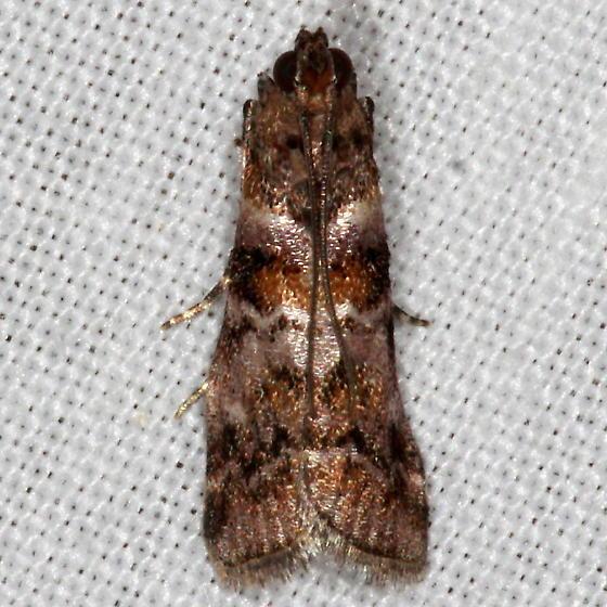 Bald Cypress Coneworm Moth - Dioryctria pygmaeella
