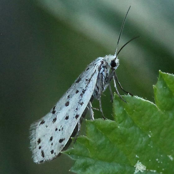 Prodoxidae: Greya piperella - Greya piperella