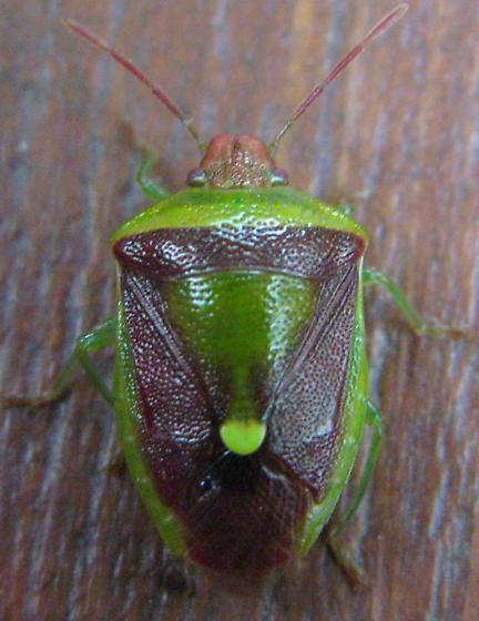 Green Stinkbug? Chinavia hilaris? Odd color - Banasa dimidiata