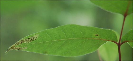 St. Andrews leaf miner on Toxicodendron radicans Cameraria guttifinitella maybe SA38 2015 2 - Cameraria guttifinitella