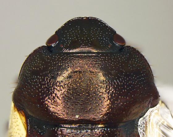Cydnoides albipennis - male