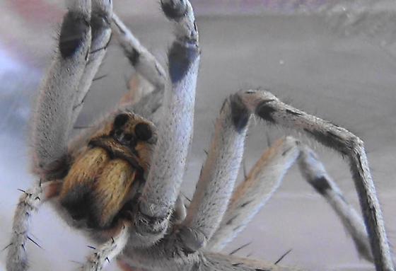 Night Stalker (legs) - Hogna carolinensis - male