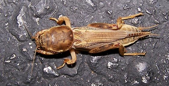 Ugly Insect - Neoscapteriscus vicinus - female