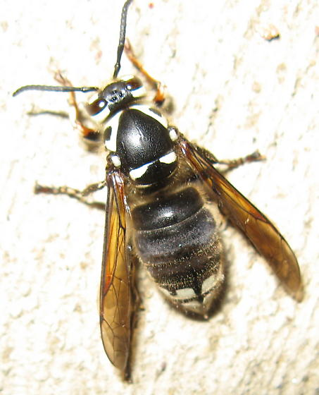 Black and white bee or wasp - Dolichovespula maculata
