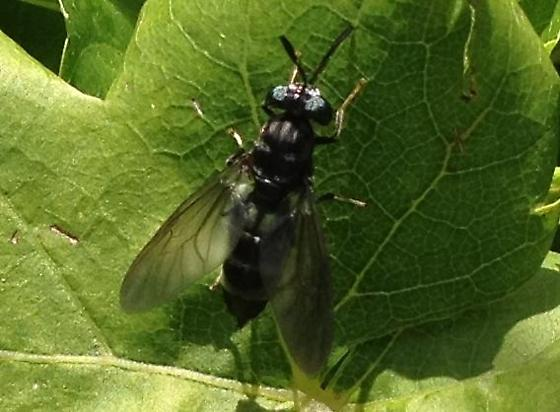 Bee, Wasp, or other? - Hermetia illucens