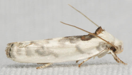 white and maroon moth - Antaeotricha