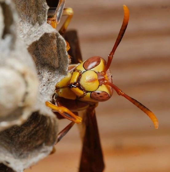 Paper wasp - Polistes exclamans