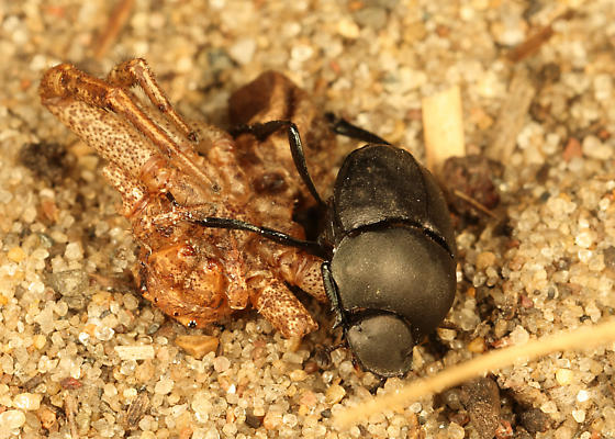 Unknown Dung beetle? - Canthon