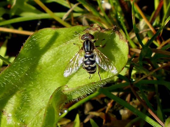 Syrphid fly Anasimyia bilinearis - Lejops bilinearis - Lejops - female