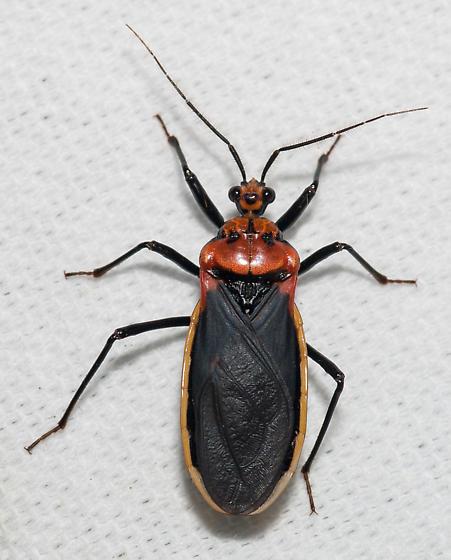 Assassin - Rhiginia cinctiventris