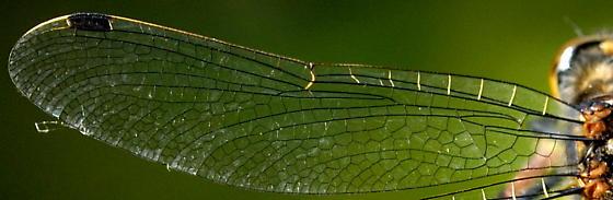 Boreal whiteface - Leucorrhinia borealis - female