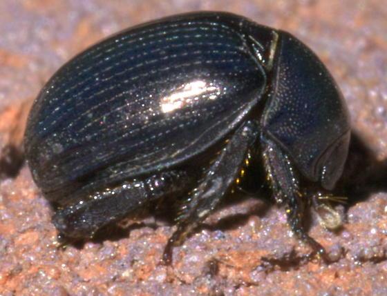 Dark, round beetle with white stitching - Germarostes