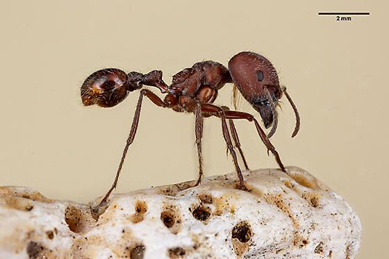 Harvester Ant ? - Pogonomyrmex badius - female