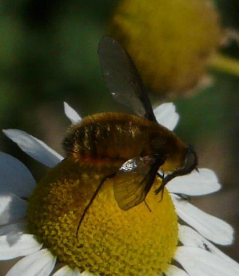 Bee Fly 6 - Villa fulviana