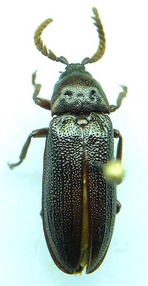 Callirhipid - Zenoa picea