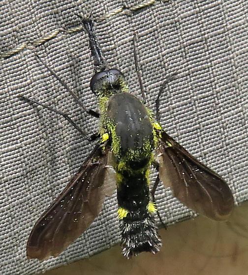 Scaly Bee Fly - Lepidophora lepidocera