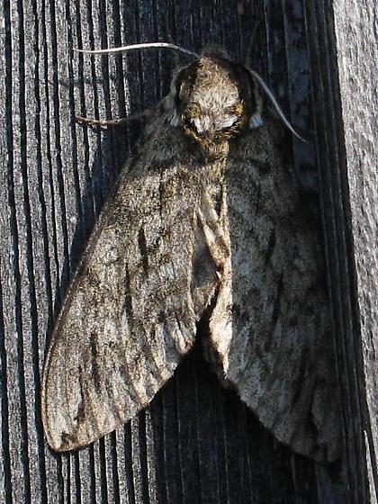New sphinx moth species for me - Ceratomia undulosa