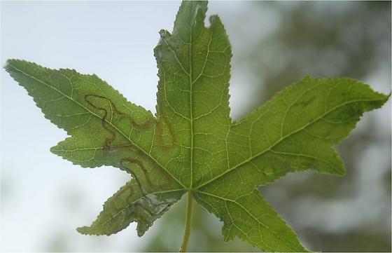 St. Andrews Leaf miner on Liquidambar styraciflua SA40 Phyllocnistis liquidambarisella maybe 2015 5 - Phyllocnistis liquidambarisella