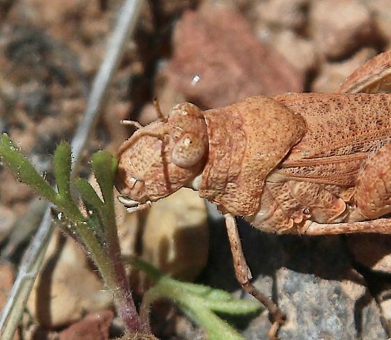 grasshopper, redbrown, big, fem - Cibolacris - female