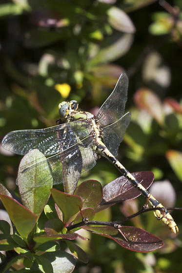 Dragonfly - Ophiogomphus occidentis