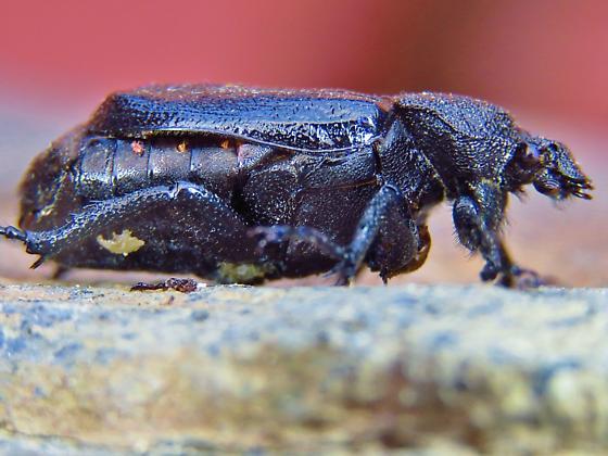 Id help needed - scarab beetle - Osmoderma scabra